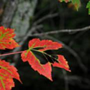 Maple Leaves Poster by Steven Scott