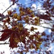 Maple Tree In Spring Poster