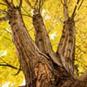 Maple Tree Portrait Poster