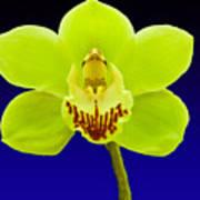 Mapplethorpe Flower Poster
