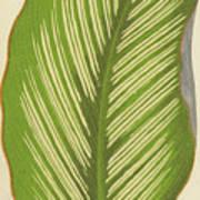 Maranta Alba Lineata Poster