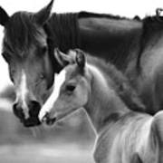 Mare And Foal In Black And White Poster