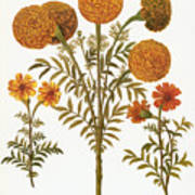 Marigolds, 1613 Poster