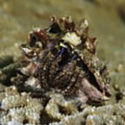 Marine Hermit Crab Poster