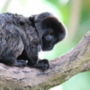 Marmoset Sitting Perched In A Tree Poster
