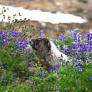 Marmot In The Wildflowers Poster
