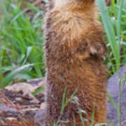 Marmot Love Poster