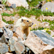 Marmot On Mount Massive Colorado Poster