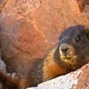 Marmot On The Rocks Poster