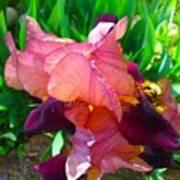 Maroon Iris Flower Poster