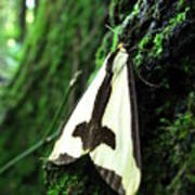 Maryland Clymene Moth Poster
