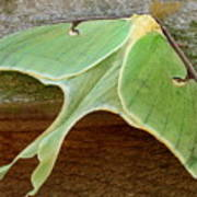 Maryland Luna Moth Poster
