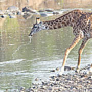 Masai Giraffe Drinking Poster