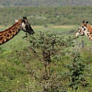 Masai Mara Giraffe Poster