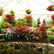 Massed Bromeliad In Hothouse Poster