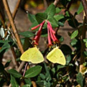 Matched Pair Of Sulfur Butterflies Poster