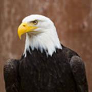 Mature Adult Bald Eagle Poster