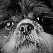 Max - A Shih Tzu Portrait Poster