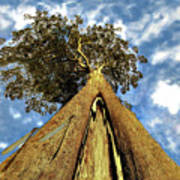 Mayflies On The Eucalyptus Viminalis Poster
