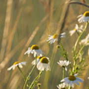 Mayweed Poster