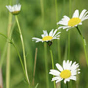 Meadow Detail White Wild Flowers Poster