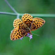 Meadow Fritillary Butterfly 2015 Poster