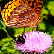 Meadow Fritillary On Thistle Blossom Poster