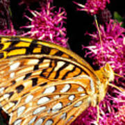 Meadow Fritillary Poster
