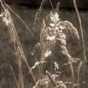 Meadow Grass In Sepia Poster