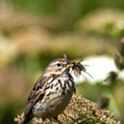 Meadow Pipit With Food Poster