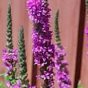Meadow Sage Close Up Poster