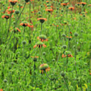 Meadow With Orange Wildflowers Poster