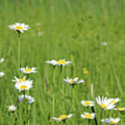 Meadow With White Wild Flowers Spring Scene Poster