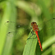 Meadowhawk Dragonfly Poster