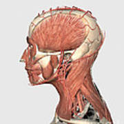 Medical Illustration Showing Human Head Poster