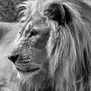 Meditative Lion In Black And White Poster