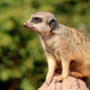 Meerkat 1 Poster