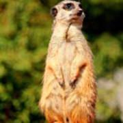 Meerkat 2 Poster