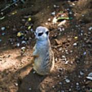 Meerkat Responding Poster