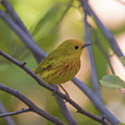 Mellow Yellow - American Warbler - Setophaga Petechia Poster