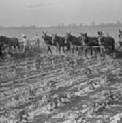 Men And Mules Cultivating Cotton Poster