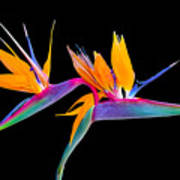 Mexican Bird Of Paradise Poster