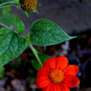 Mexican Sunflower 2 Poster