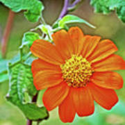 Mexican Sunflower Along White Pine Trail In Kent County, Michigan  Poster