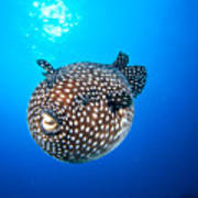 Mexico Guineafowl Puffer Poster