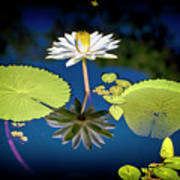 Mid Day Water Lily Reflection Poster