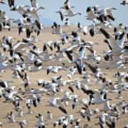 Migrating Snow Geese Poster