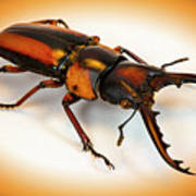 Military Stag Beetle Poster