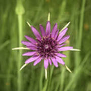 Milkweed Flower Poster