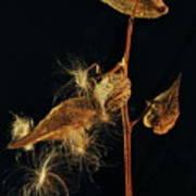 Milkweed Pods Poster